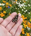 Ranchman's Tiger Moth - Platyprepia virginalis - Arctia virginalis