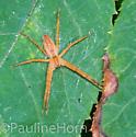 Spider - Pisaurina