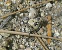 Small grasshopper  - Cratypedes lateritius - male