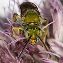 Agapostemon virescens male  - Agapostemon virescens - male