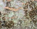 Unknown insect - Cerastipsocus venosus