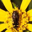 Buprestidae? - Acmaeodera pulchella