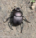 Dung Beetle - Canthon