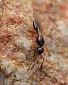 Small Black Wasp - Basalys - female