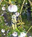 Gyascutus planicosta planicosta - Gyascutus planicosta