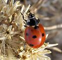 February Seven-spotted Lady Bug - Coccinella septempunctata