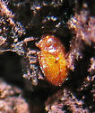 Tiny orange beetle under bark - Symbiotes gibberosus