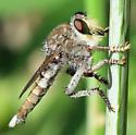 Promachus truquii - male