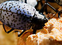 Gibbifer californicus  - Gibbifer californicus