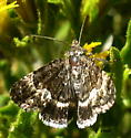 small day-flying dark-chocolate & vanilla fringe-wing Moth at high-altitude - Sympistis aterrima