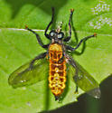 Robber fly - Laphria - female