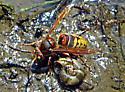 Brown and Yellow Hornet or Wasp - Vespa crabro