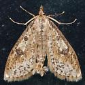 Hodges#5227 - Palpita aenescentalis