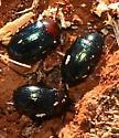 red headed beetles in rotten wood - Neomida bicornis