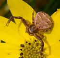Crab spider? - Xysticus