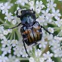 Shiny flower feeder - Trichiotinus affinis