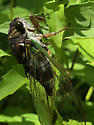 Cicada pumping up wings - Neotibicen lyricen