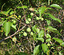 Prunus angustifolia: host plant - Arge