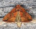 Noctuidae ? - Plusia putnami