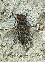 5009645 Lispe - Lispe albitarsis - male - female