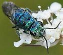 Chrysididae - Cuckoo Wasps  Chrysis ignita species-group - Chrysis