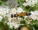 long wasp on buckwheat - Sceliphron caementarium