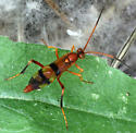 Compsocryptus or Lanugo? - male