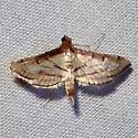 Marasmia trapezalis, Trapeze Moth, Hodges #5288 ? - Cnaphalocrocis trapezalis