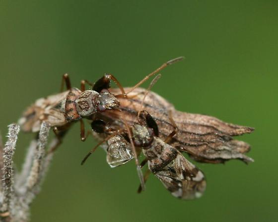 Dirtcolored Seed Bug? - Neopamera bilobata