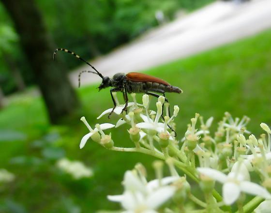 Brachyleptura rubrica, Longhorned Flower Beetle - Brachyleptura rubrica