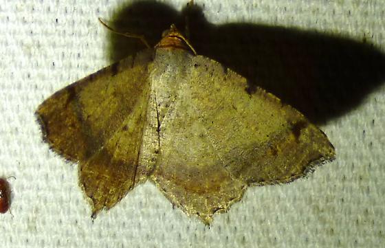 Macaria bisignata - Red-headed Inchworm - Macaria bisignata