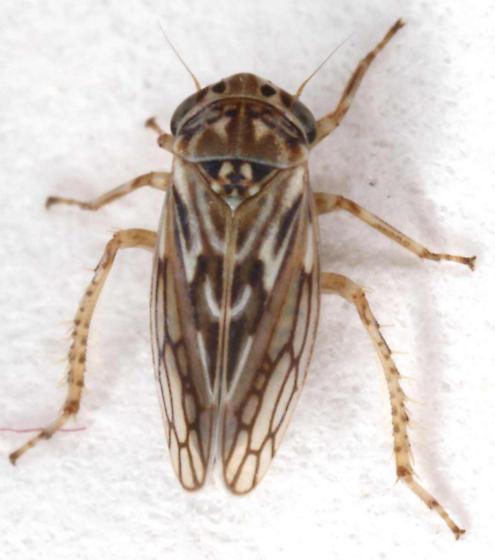 Ceratagallia? - Ceratagallia uhleri
