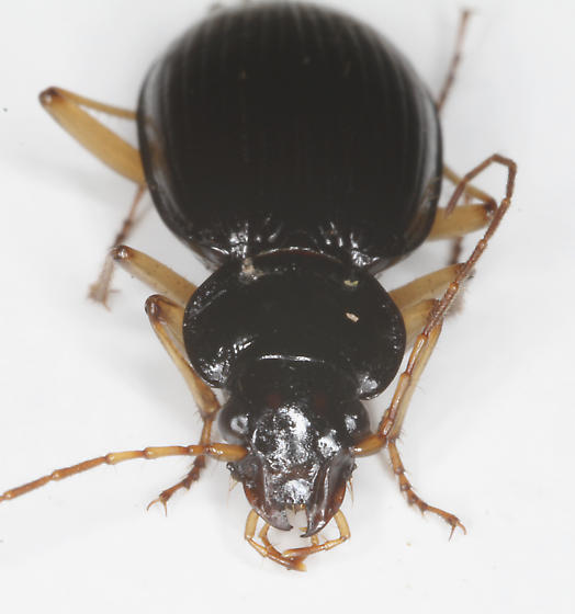 Carabidae - Nebria pallipes