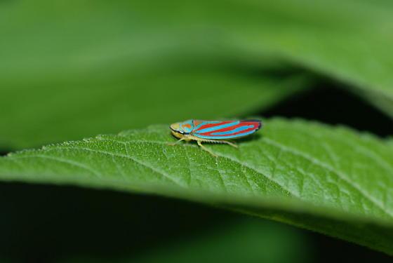 Leaf Hopper - Graphocephala coccinea