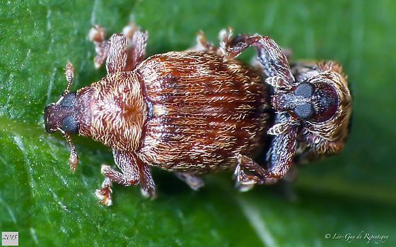 Coleoptera. Curculionidae. - Piazorhinus pictus