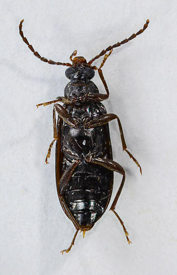 Another Comb-clawed....  - Mycetochara - male