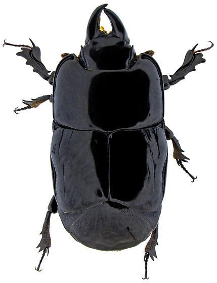 Hololepta yucateca? - Hololepta yucateca