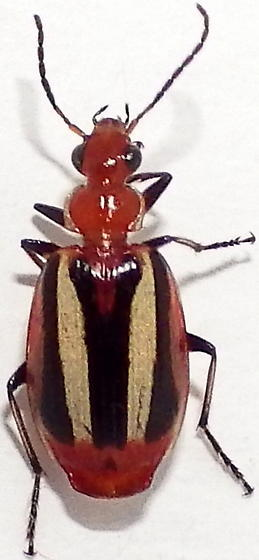 Lebia vittata - female