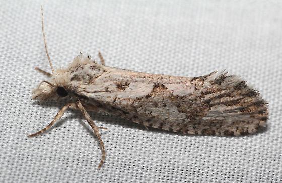Tubeworm Moth - Acrolophus