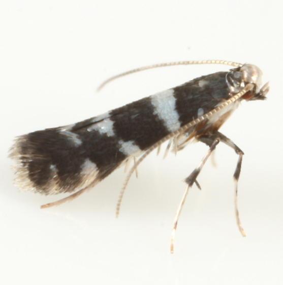 Marmara viburnella - male