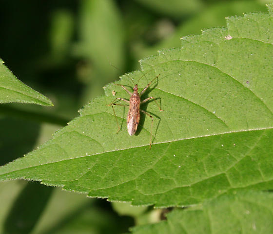 Insect ID Request - Lasiomerus annulatus