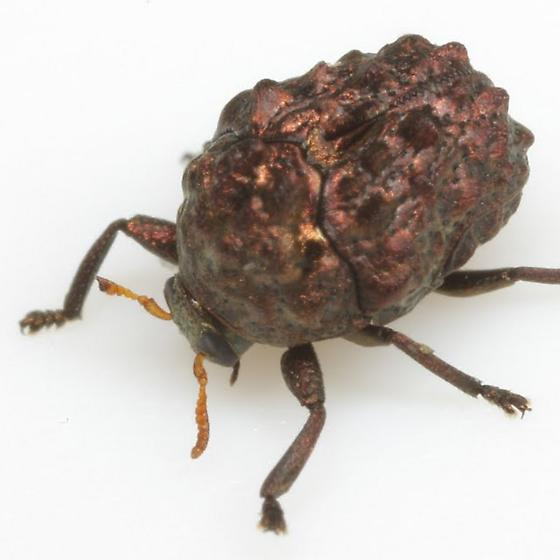 Diplacaspis prosternalis (Schaeffer) - Diplacaspis prosternalis