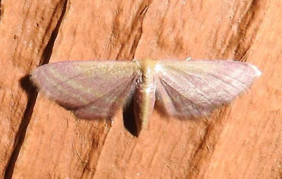 Leptostales laevitaria - Raspberry Wave Moth - Hodges#7177 - Leptostales laevitaria