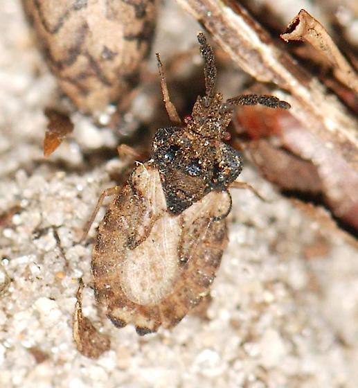 Flat Bug - A. robustus? - Aradus ornatus