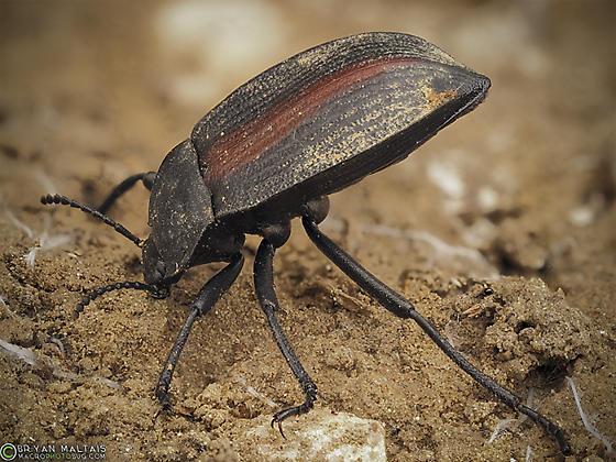 Darkling Beetle - Eleodes suturalis
