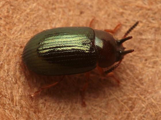Neomida bicornis? - Neomida bicornis