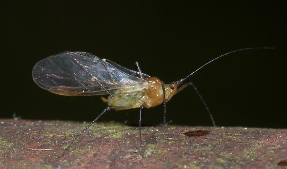 Aphid - Illinoia liriodendri