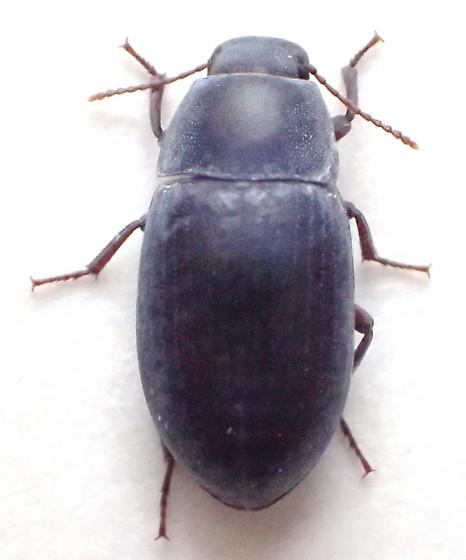 blueish Teneb - Steriphanus