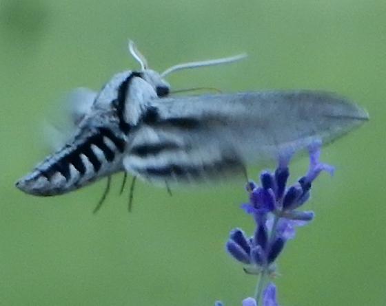 moth - Sphinx vashti