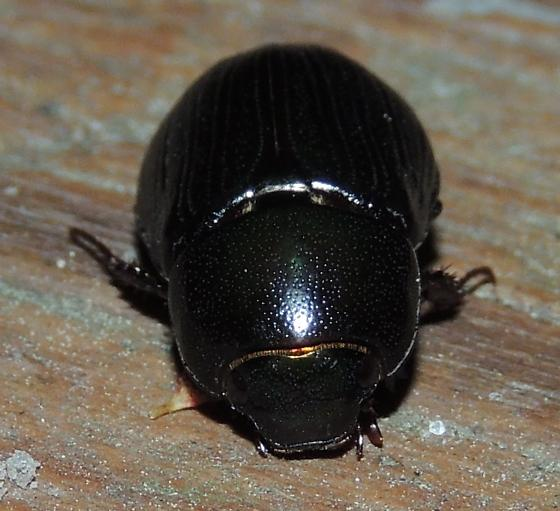 Beetle sp.?